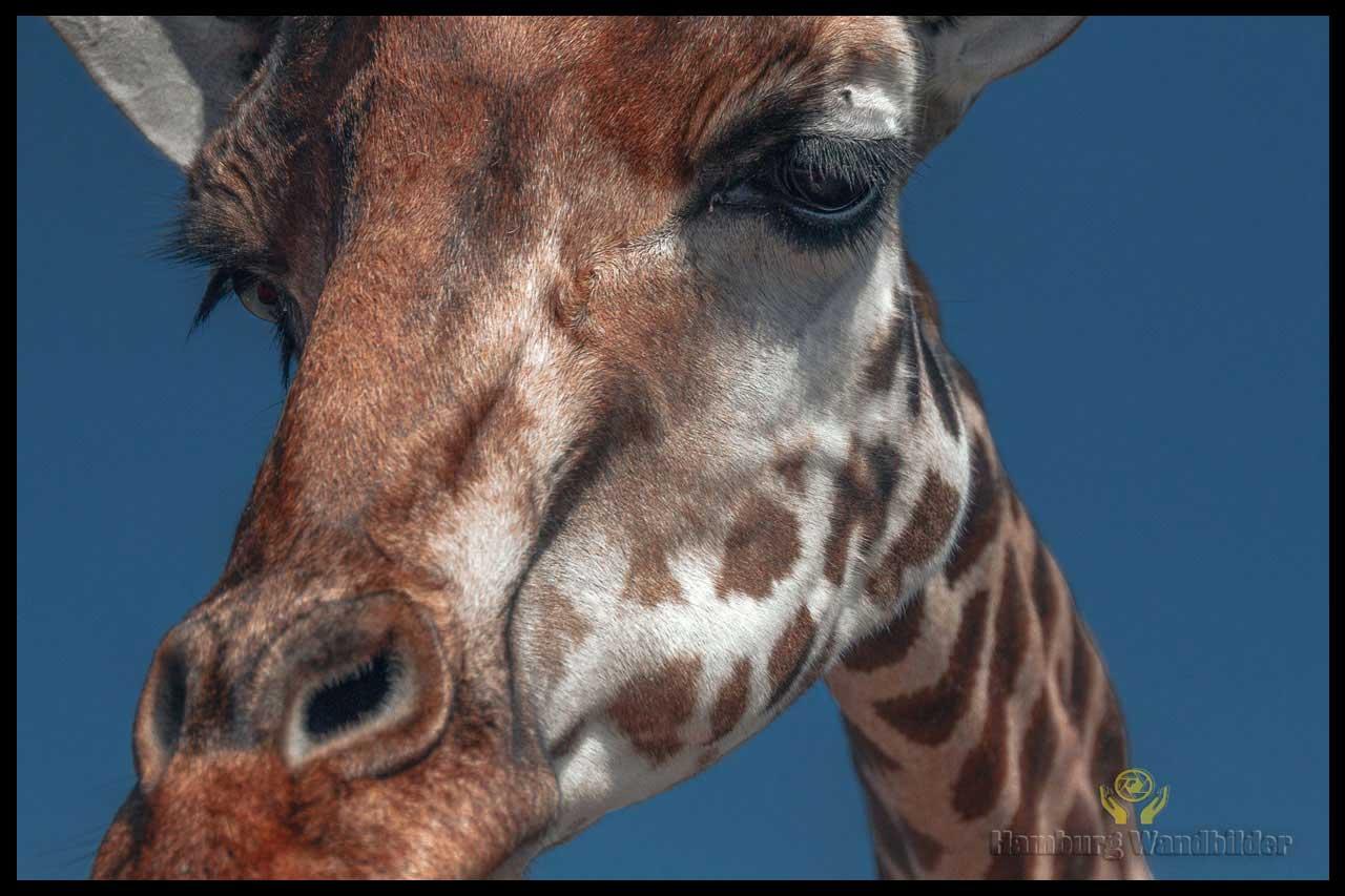 Giraffe  /  129