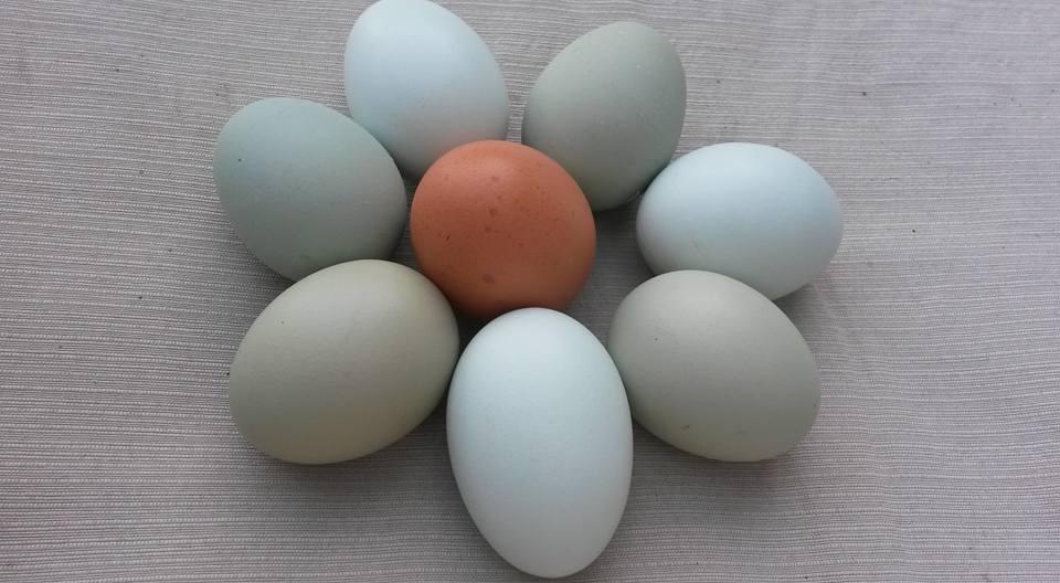 Grüne und braune Eier