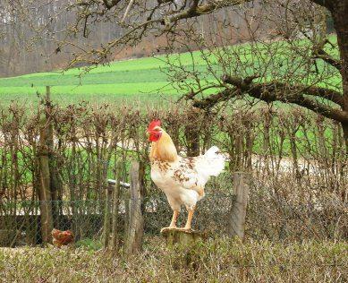Guten Morgen wünscht der Hahn