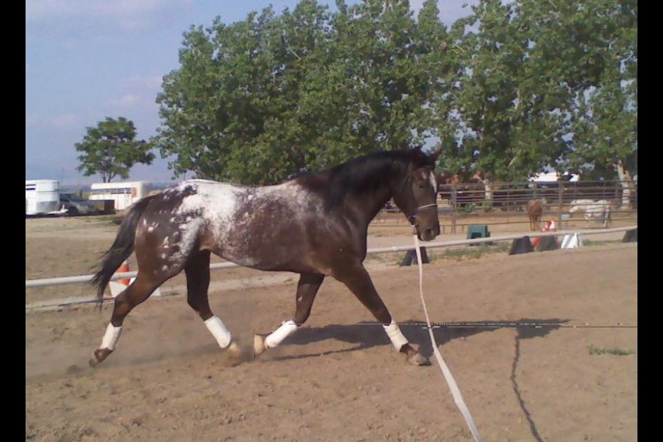 Swirling Chocklate * Old-Line  Appaloosa Sport Horse