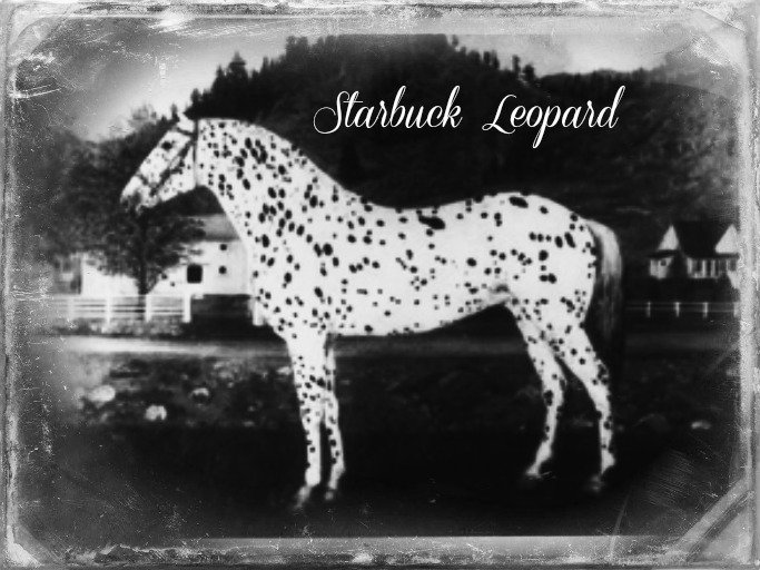 SIX C Appaloosa - will to please & a will to win