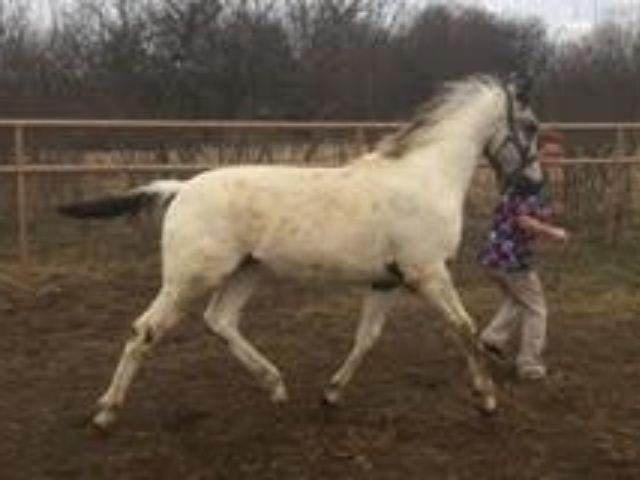 Chocklate N Confetti Fewspot Appaloosa Hengst * Old-Line Appaloosa Sport Horse