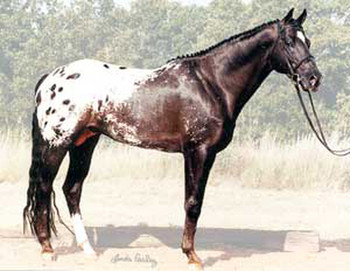 Sunbeach Honkytonk | Appaloosa Old-Line | Appaloosa Foundation | Appaloosa Sport Horse | Appaloosa Classic | Foundaloo(sa) | By SIX C Appaloosa