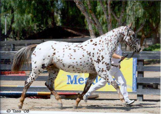 Butterscotsch Confetti * Old-Line Tri Leopard Appaloosa Sport Horse