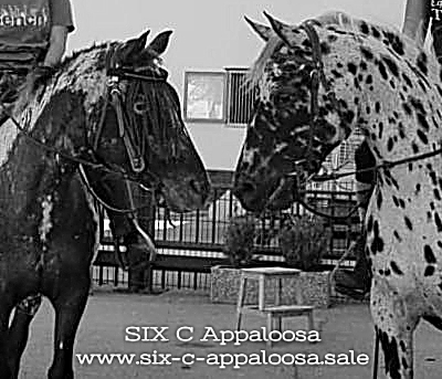Appaloosa Old-Line | Appaloosa Foundation | Appaloosa Sport Horse | FAHR Foundation Appaloosa Horse Registry | FPD Foundation Pedigree Designation | ApHC USA | By SIX C Appaloosa