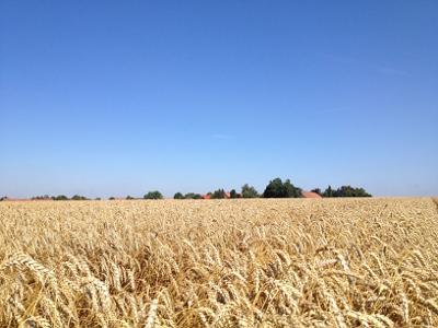 Weizen Agrar Vorharz