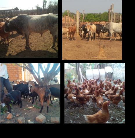 牧畜 牛、鳥、ヤギ、豚