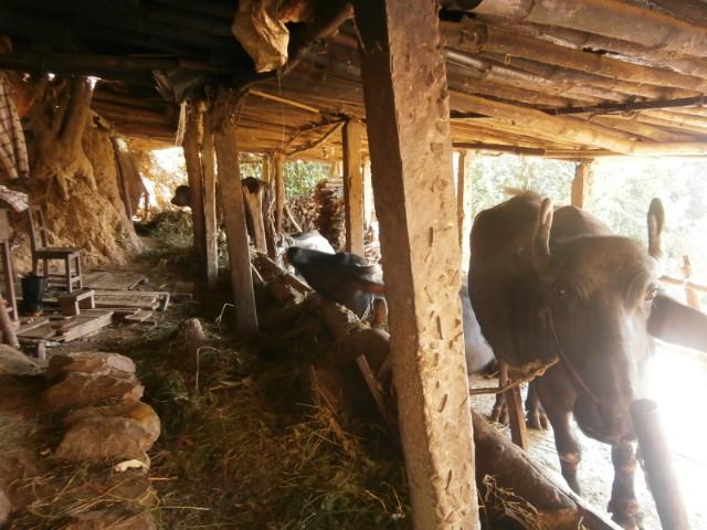 学校では水牛も飼っています。水牛のミルクを飲むほか、畑を耕すのにも活躍してきた水牛ですが、最近の人には水牛を飼いならすのが難しく、耕運機の購入に踏み切ったとのことでした。