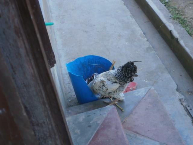 保育園の敷地内でも鶏は放し飼い。