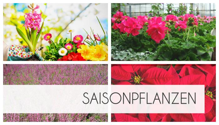 Über das Jahr bieten wir verschiedene saisonale Pflanzen. Frühjahrblüher wie Primeln, Hyazinthen, Krokusse, Osterglocken. Sommerblüher wie Geranien, Petunien, Fuchsien. Herbstpflanzen wie Callunen, Eriken, Stiefmütterchen. Adventsdekorationen.