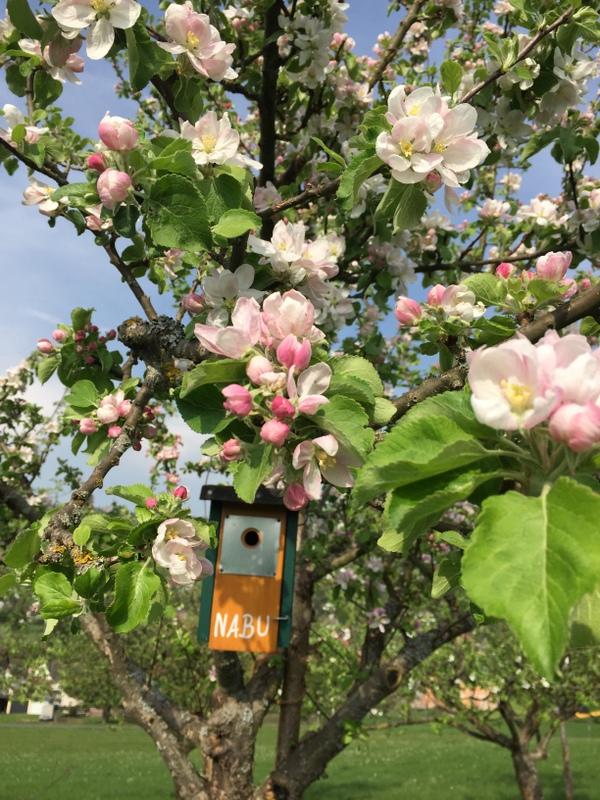Apfelbaumblüte
