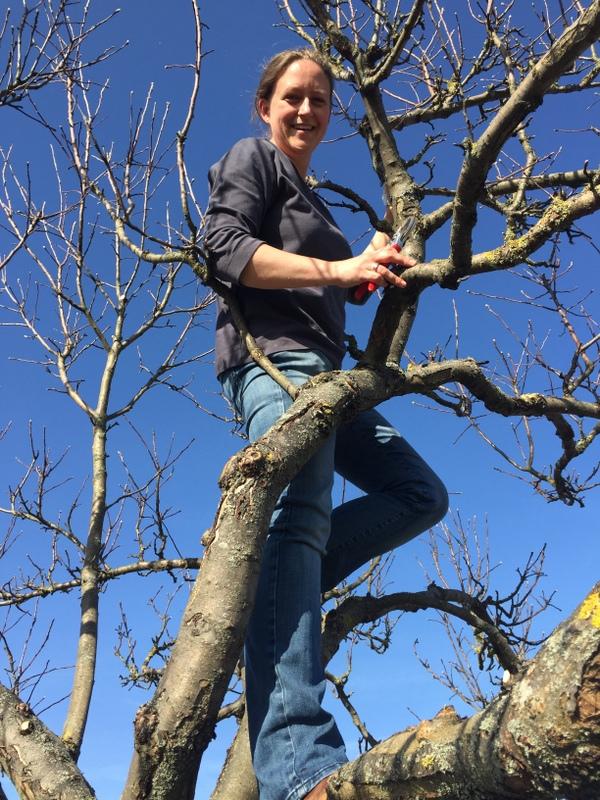 Apfelbaumallee Richtung Ortseingang Oberems - Obstbaumschnitt