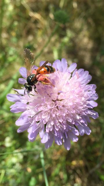 eine Wildbiene an einer Skabiose