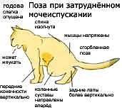 Заболевание почек у кошки