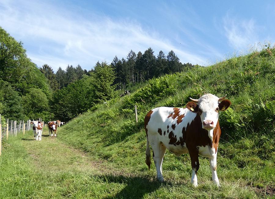 Glückliche Kühe liefern gesunde Lebensmittel
