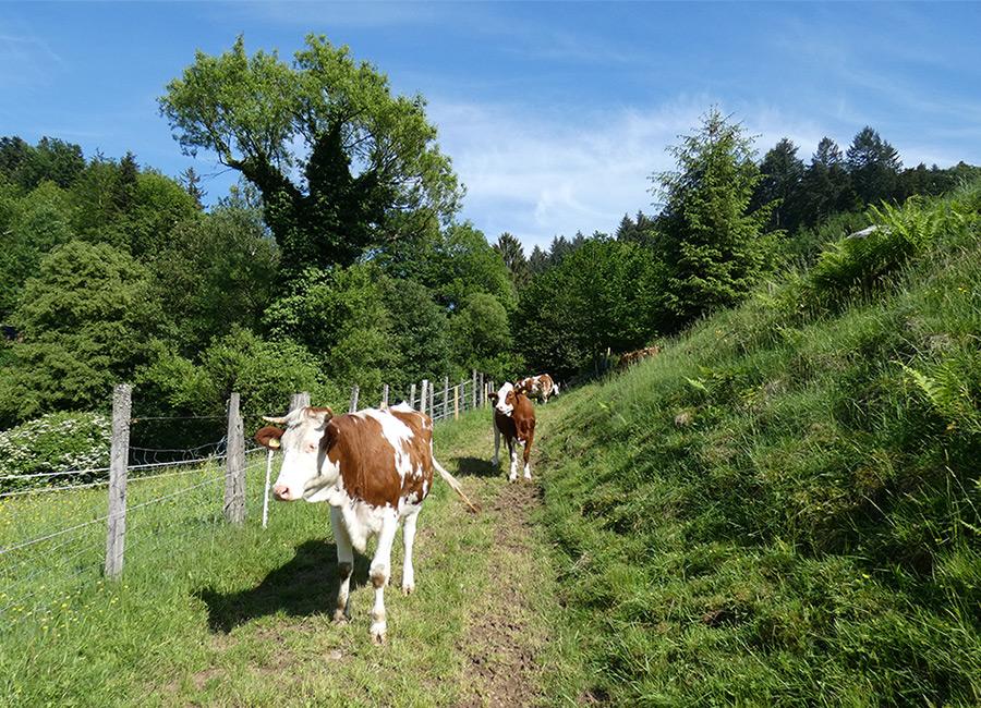 Rinder gehören natürlich zum Bauernhof