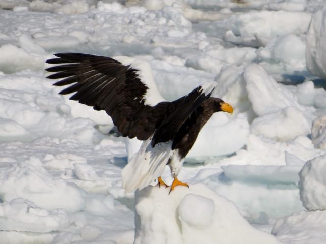 流氷上のオオワシの勇姿。翼を広げると2mにもなる。