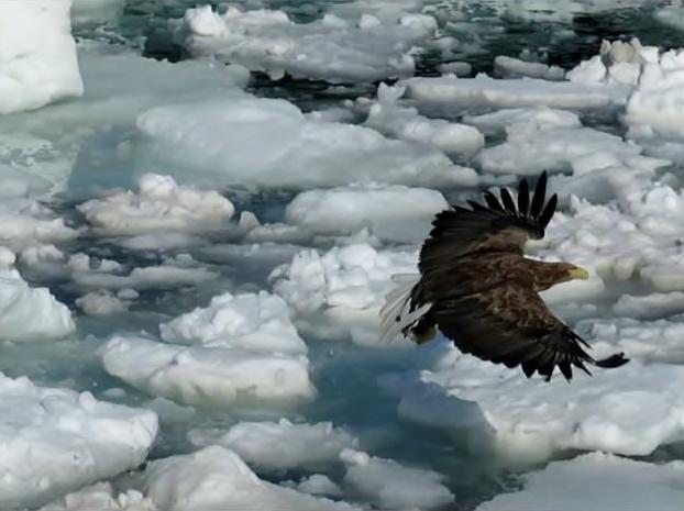 滑空するオジロワシ。尾羽だけが白い。