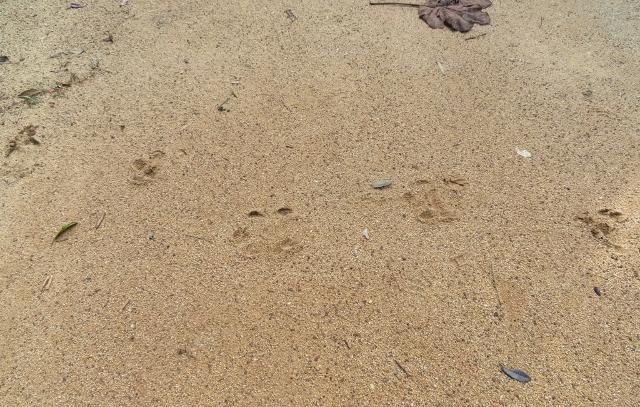 地面に残された大型の野生動物の足跡(13マイルポイントにて)。