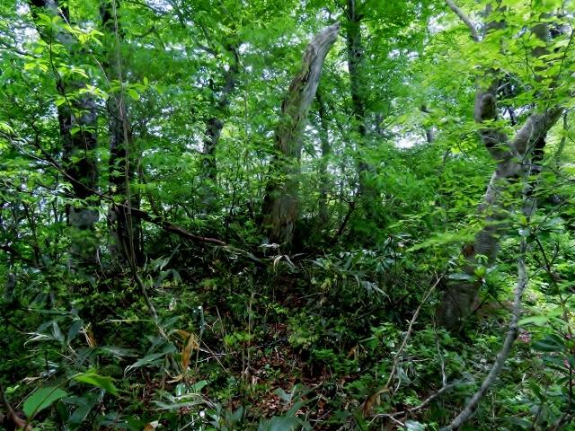 尾根にたたずむブナの森。