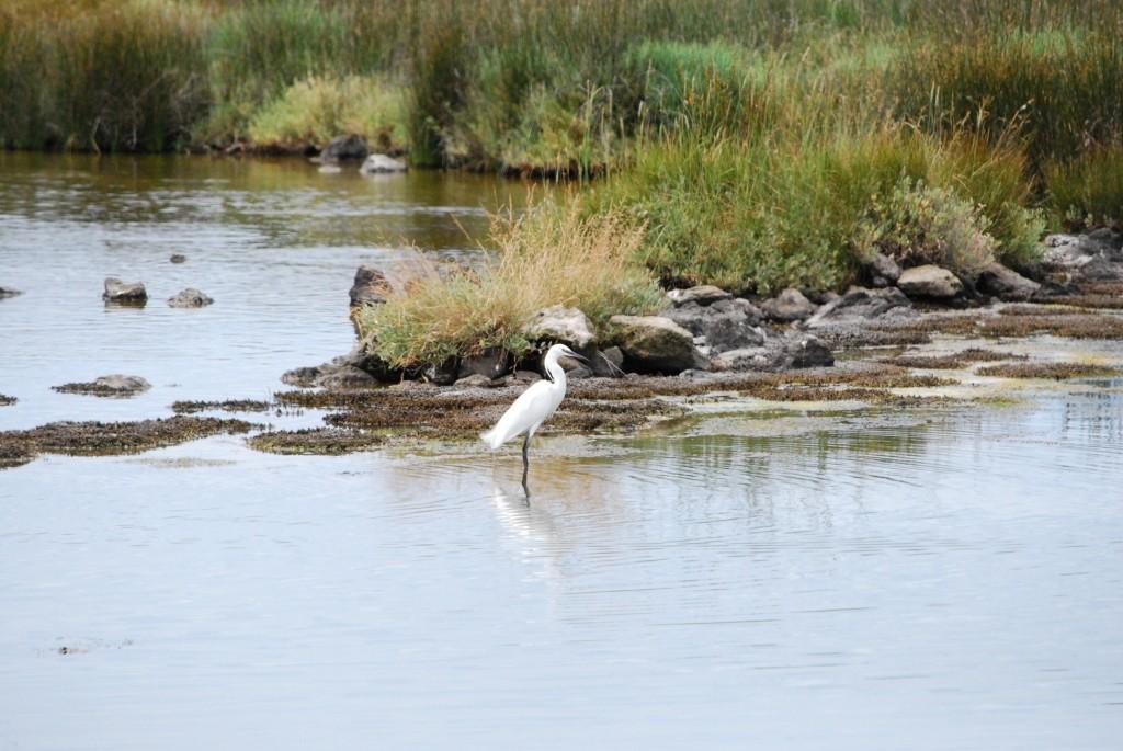 Aigrette dans le polder de Sébastopol