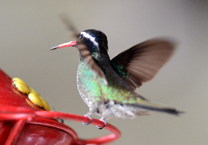 Weißohrsaphirkolibri, White-eared hummingbird, Basilinna leucotis (Hylocharis leucotis)