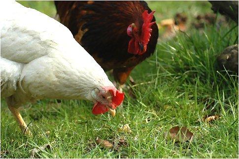 Ununterbrochen wird nach Nahrung gesucht, dabei unterstützt der Hahn die Henne.