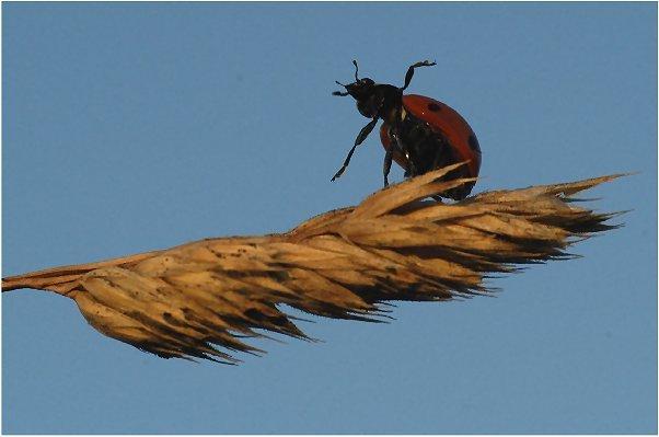 Zuzuwinken scheint dieser Marienkäfer seinem Fotografen. Möge er ein langes Käferleben vor sich haben!