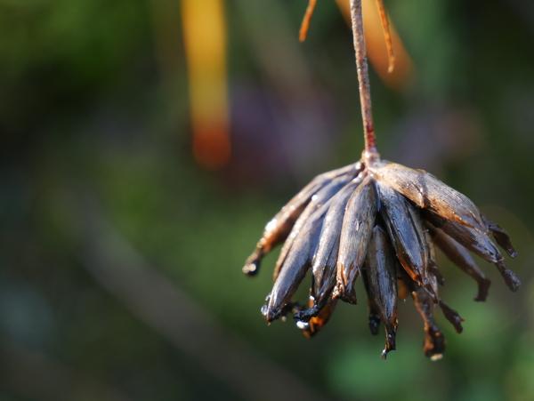 Samenstand Dianthus carthusianorum - Karthäusernelke