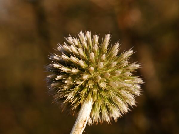 Samenstand Echinops ritro - Kugeldistel