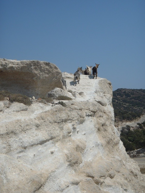 Goats, Milos, Cyclades, Greece.