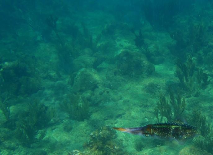 cuttlefish, Tobago underwater