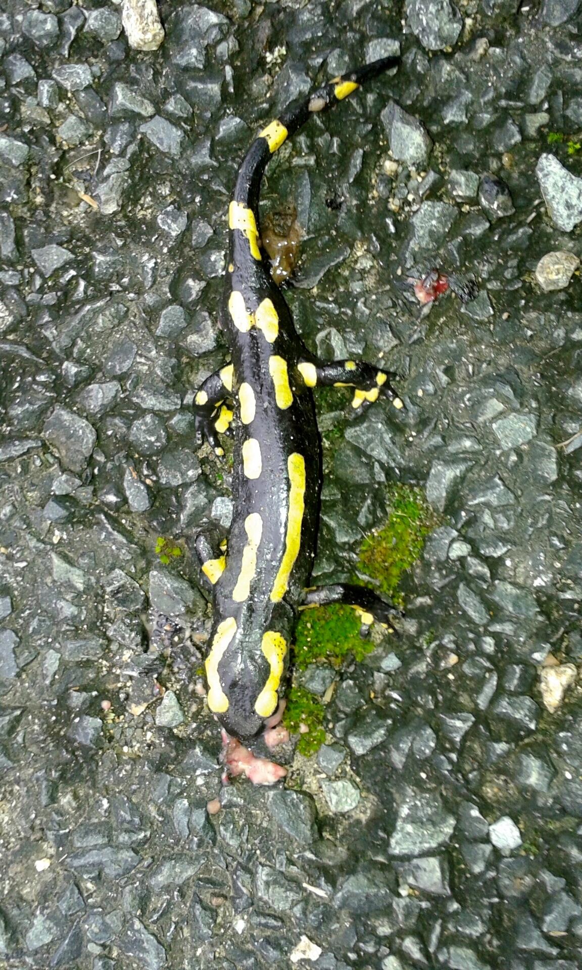 une belle salamandre