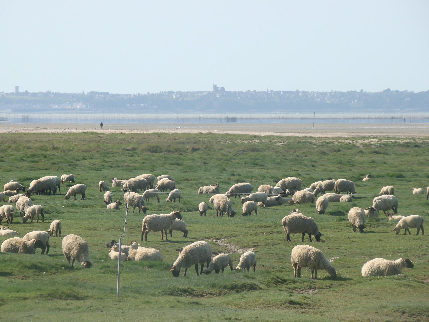 Mouton des prés salés en baie du Mont Saint Michel près de Cherrueix