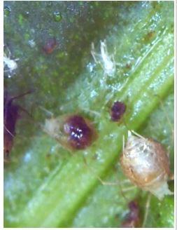 Bij onbehandeld gewas werden meer dode- en geparasiteerde luizen geobserveerd.