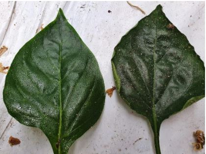 'onbehandeld - sluipwesp' (rechts) heeft meer honingdauw vervuiling dan behandeld met orthosiliciumzuuremulsie (links)