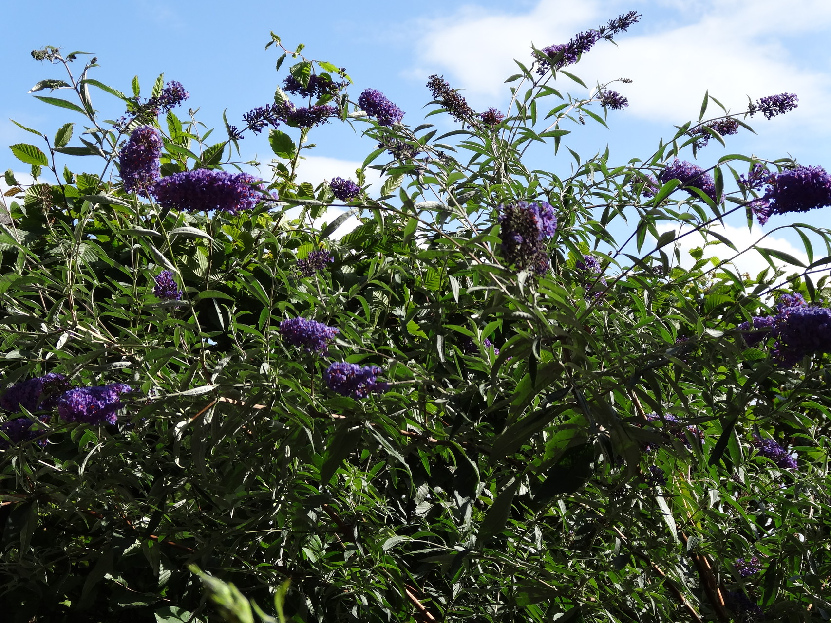 luftiger Schmetterlingsflieder
