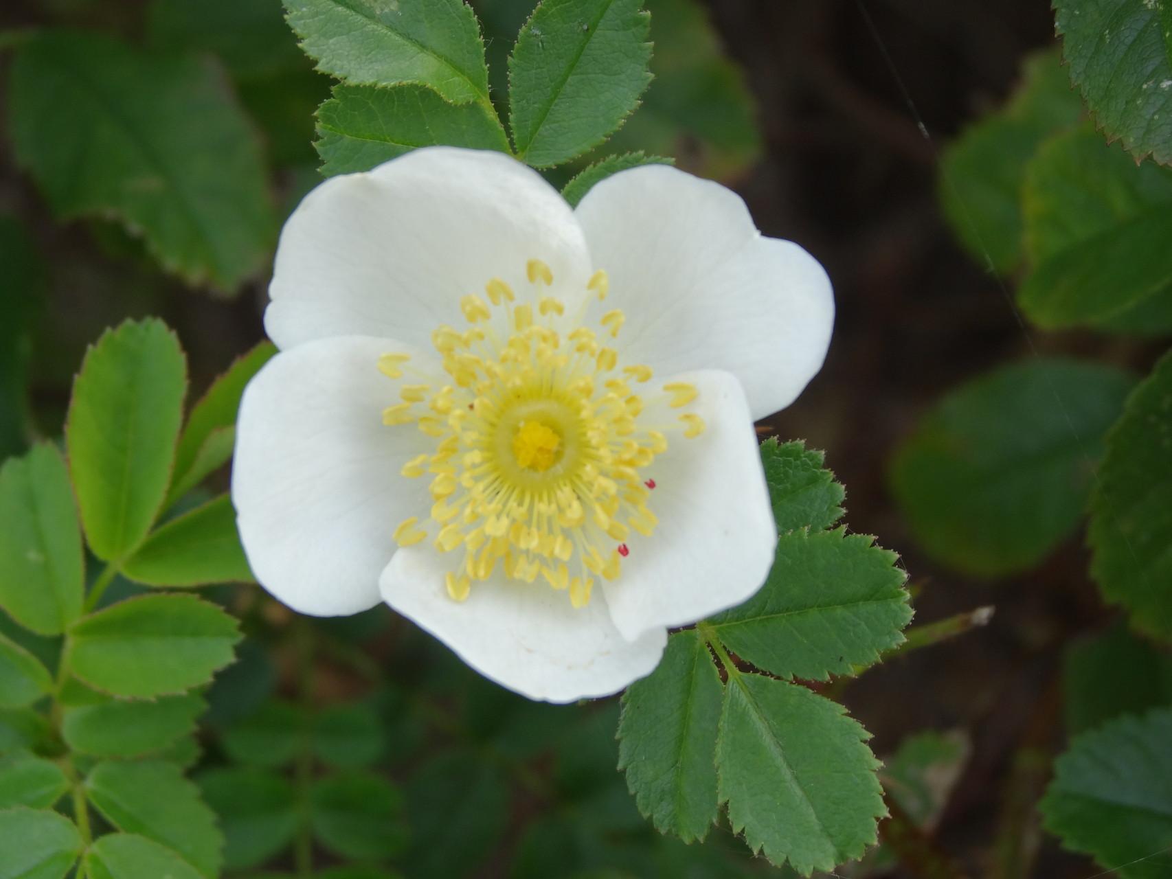 Die weiße Blüte der Bibernellrose