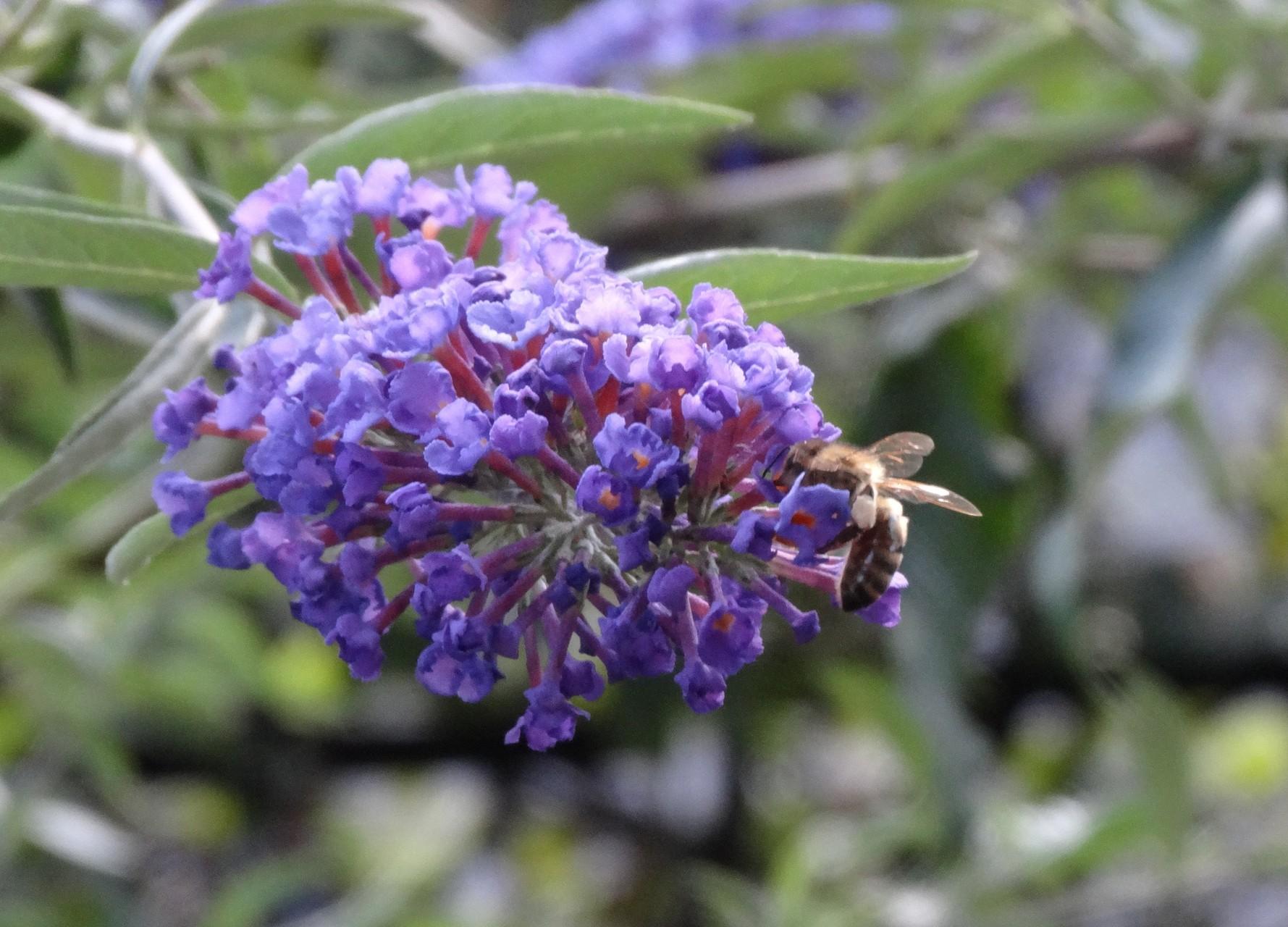 """Biene mit """"voller Hose"""""""