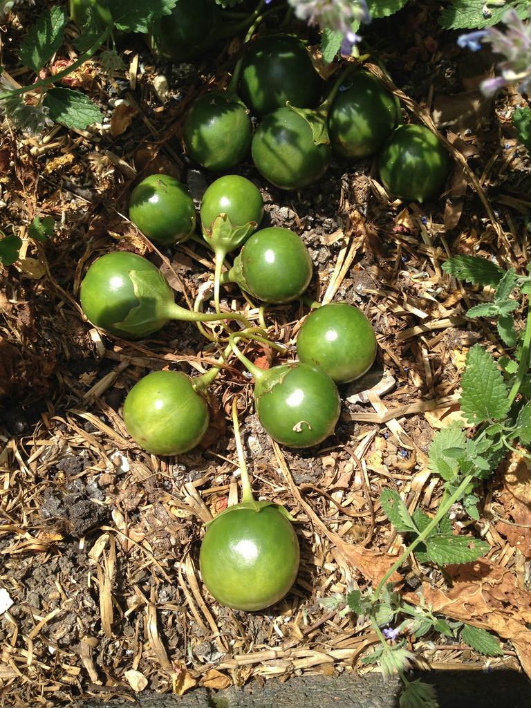 Alraune Frucht