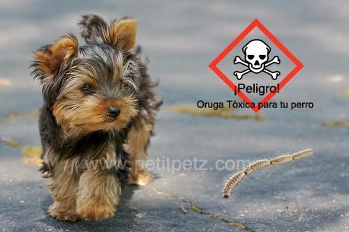 oruga procesionaria peligrosa para tu yorkshire terrier yorkie chihuahuas perros