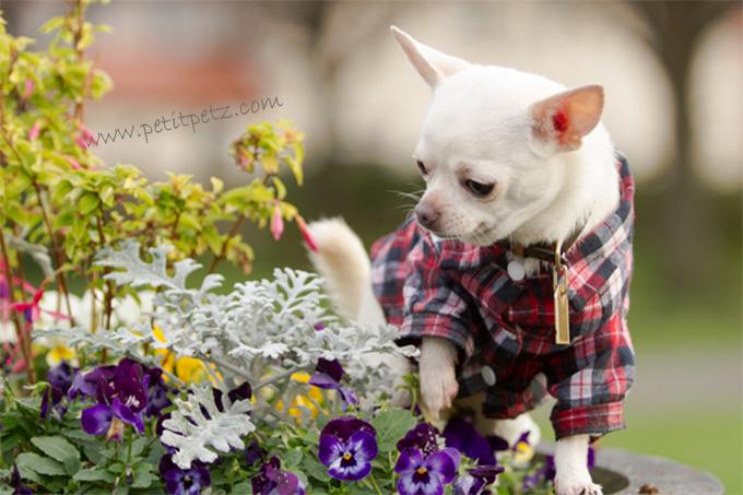 Chihuahuas alergias caninas en primavera