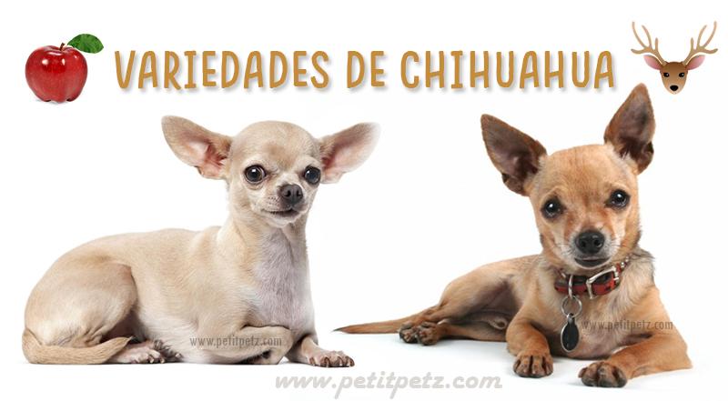 Diferencias entre chihuahuas cabeza de manzana y cabeza de venado