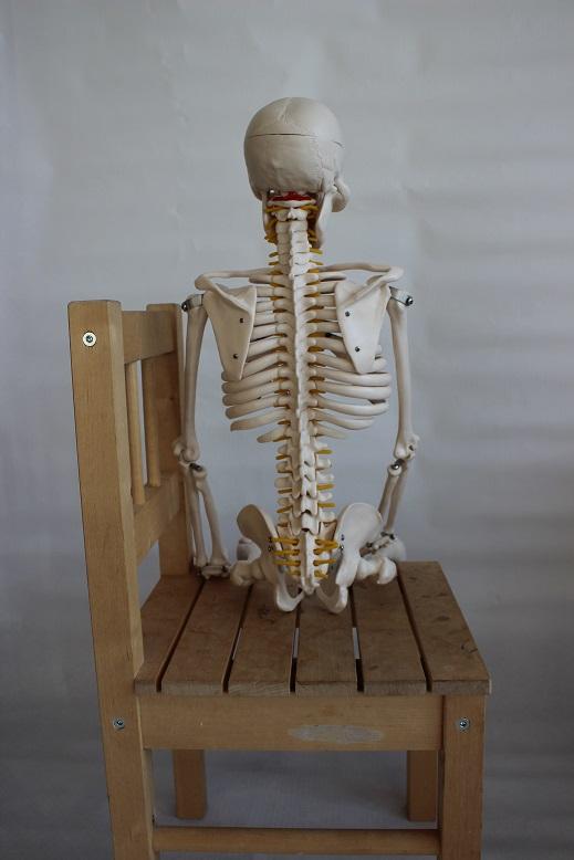 Skelettis Sitzbeinhöcker tragen das Gewicht