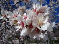 Mandelblüte als Symbol für Abnehmen mit Hypnose