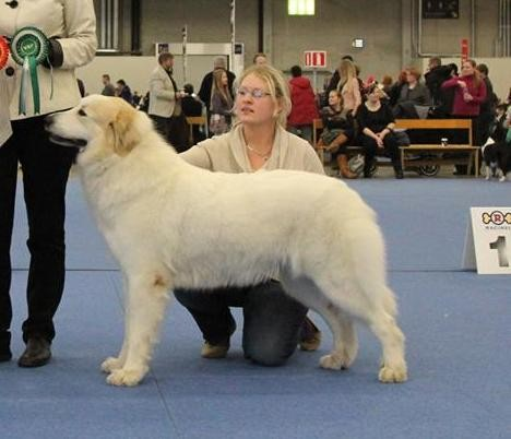 Bella 2 years old winning CACIB BOS and Finnish Winner 2013 in Finland. Judge Annukka Paloheimo, Finland. photo: Chenespace