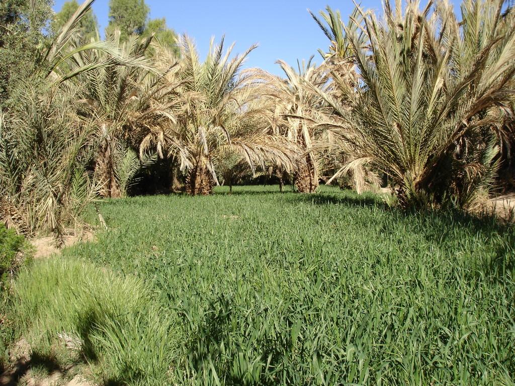 palmeraie, vallée du Ziz, maroc