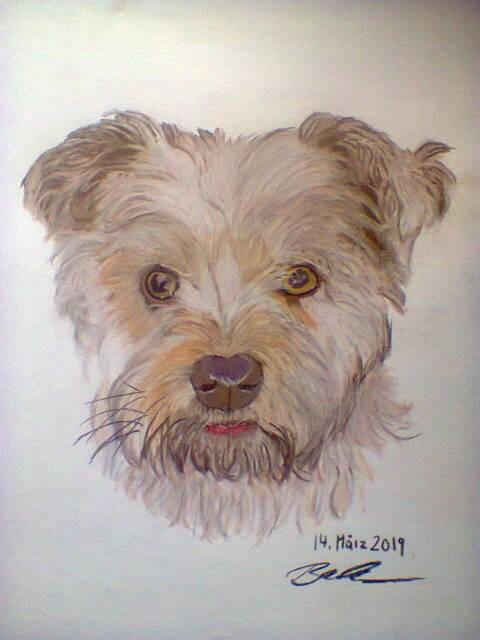 Paulchen - Yorkshire Terrier