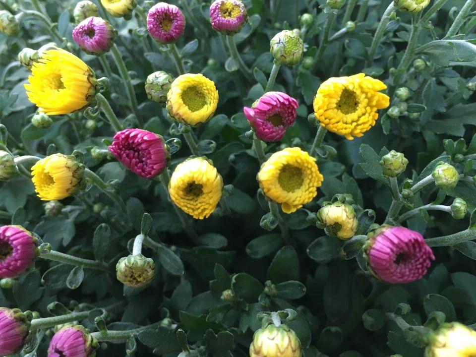 Chrysantheme Tricolor