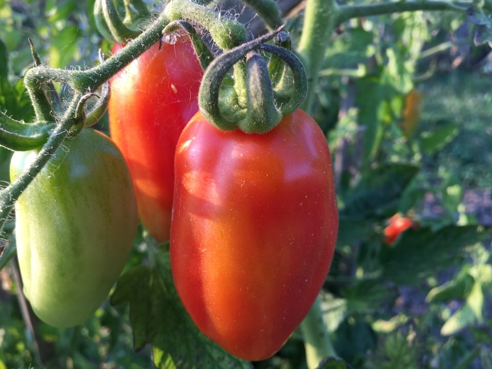 San Marzano Tomaten - intensives Aroma, sehr fruchtig!